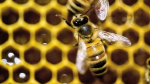 The Canadian beekeeping industry is buzzing over new numbers that show honey production is up. New figures from Statistics Canada show beekeepers produced 95.3 million pounds of honey in 2015,   an increase of 11.4 per cent from the previous year. (THE CANADIAN PRESS/AP Photo/Andy Duback)